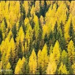 yellow larch trees